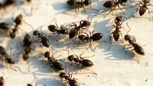 Little Black Ants In Kitchen How Do I Get Rid Of Big Black Ants Referencecom