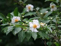 沙羅さらの花夏椿なつつばきの花夏の花の壁紙写真 ぶらり兵庫