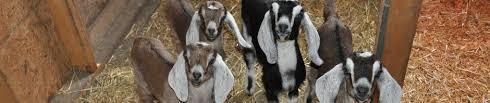 Bottle Feeding Schedule For Baby Goats Aibrean Nubians