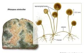 Rhizopus Stolonifer Morphology And Reproduction Of Black Bread Mold