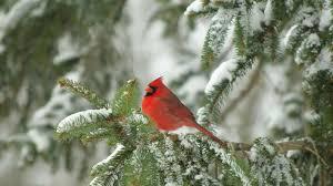 winter cardinal wallpaper. Delighful Winter 1600x1067 Cardinal In Snow Wallpaper Free Winter Cardinal Wallpaper Intended Winter I
