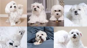Dog Wallpaper Maltese - 1920x1080 ...