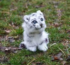 baby white tiger. Modren Tiger Adorable White Tiger And Baby Tiger Image In Baby White Tiger Y