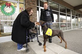valgus dog. tyson, a 13-month-old doberman pinscher, who was born with carpus valgus, or deformed front legs, offers his nose in greeting to linda mcmurtry of vancouver valgus dog