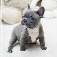 teacup pug full grown.  Pug Our Frenchies And Mini Will Grow To A Maximum Of 10lbs Full Grown We  Specialize In Blue Frenchies Throughout Teacup Pug Full Grown