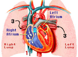 the circulatory system multiple choice questions heart