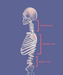 It is made up of bones, discs, muscles, ligaments, nerves and tendons. Spine Anatomy Basics Integrated Spine Service