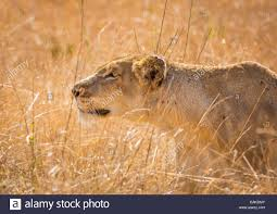 lioness stalking in grass.  Lioness KRUGER NATIONAL PARK SOUTH AFRICA  Lioness Stalking Prey In Tall Grass  During Hunt For Stalking In Grass G
