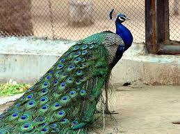 you are not entitled to bring an emotional support peacock on your  peacock