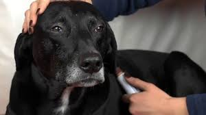 to cut a dog s nails without clippers