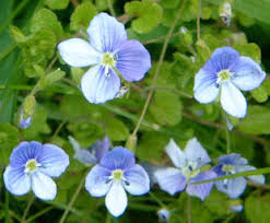 Image result for speedwell