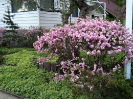 Flowering Shrubs  Johnstonu0027s Evergreen NurseryShrub With Pink Flowers