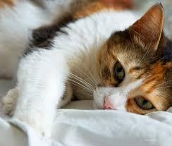 Feline allergies, environmental allergies and food alergies in cats.