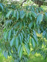 Fruit  Kaki Or Persimmon TreeLotus Fruit Tree