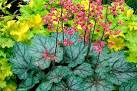 Images & Illustrations of coralbells