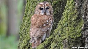 owl pictures to colour in. Contemporary Owl Tawny Owl Perched In Tree Throughout Owl Pictures To Colour In O