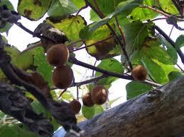 Jamaican Fruit Trees