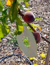 A Shiny Solution To Deter Birds From Fruit Trees  Birds And BloomsHow To Protect Your Fruit Trees From Squirrels