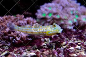 Goby Design Diamond Watchman Goby Valenciennea Puellaris Photos By Canva