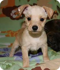 white terrier mix puppies.  Mix Hollywood FL  Westie West Highland White Terrier Meet Monty A Dog For  Adoption To Terrier Mix Puppies H