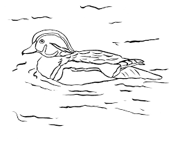 Small Picture Wood Duck Coloring Page Samantha Bell