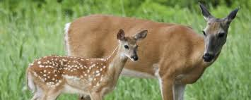 Image result for fawns picture