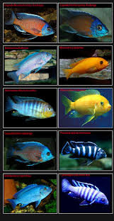 Small Picture 25 best african cichlids images on Pinterest African cichlids
