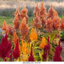 plumed sb celosia argentea flower stock image