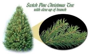 Finnegan Christmas Trees  Northern IrelandTypes Of Fir Christmas Trees
