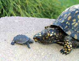 box turtle size babies