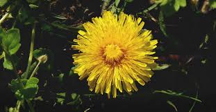 Dandelion Growth Chart Growing Dandelions How To Plant Grow And Take Care Of