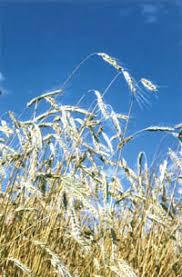 Реферат Интенсивная технология возделывания озимой пшеницы  При посеве озимой пшеницы в недостаточно влажную или в рыхлую неосевшую почву полезно провести прикатывание кольчатыми катками