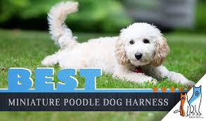 6 Best Harnesses For Miniature Poodles In 2019