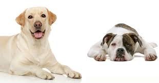 American Bulldog Puppy Growth Chart What To Know About Bulladors Labrabulls American Bulldog