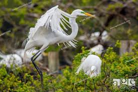 Great egret (Casmerodius albus, Ardea alba, Egretta alba), Smith Oaks  Audubon rookery, High Island, Stock Photo, Picture And Rights Managed  Image. Pic. ACX-ACP123102 | agefotostock
