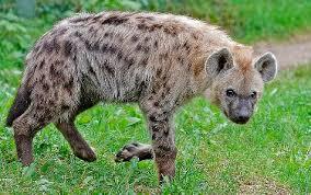 Animals: Spotted Hyena