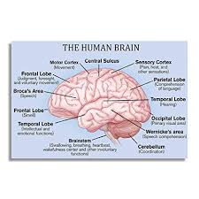 Nii The Human Brain Basic Parts And Functions Education Poster And Chart For Science And Medical Students Size 12x18 Inch