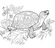 Small Picture Realistic Ornate Box Turtle coloring page Free Printable