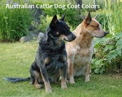 A Guide To Australian Cattle Dog Coat Colors Pethelpful