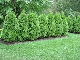Emerald Eastern Arborvitae