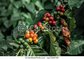 The biggest coffee beans enemies are moisture, air, light, and heat. Coffee Crop Raw Coffee Bean Roasted Coffee Bean Crop Plant Farm Coffee Beans On The Branch In Coffee Plantation Farm Canstock