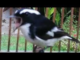 Meskipun ukuran tubuhnya tidak besar, tapi suara kicau burung decu sangat nyaring dan lantang. Pancingan Burung Decu Kembang Youtube