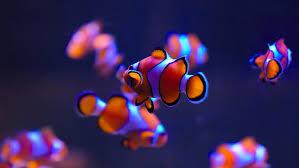 hd wallpaper clownfish 4k pc wallpaper