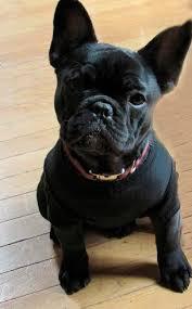 black french bulldog. Simple French Centurion Bullu0027s Female French Bulldog  Gracie With Black N