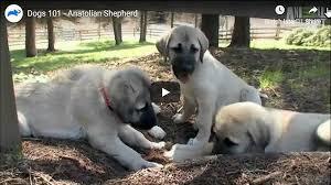 Anatolian Shepherd Puppy Growth Chart Anatolian Shepherd Kangal Dog Video