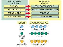 Simple Diagram Of Macromolecules Proteins Carbohydrates