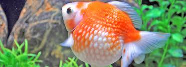 petsmart goldfish tank. Delighful Petsmart Article Hero Image Intended Petsmart Goldfish Tank T