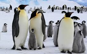 emperor penguins eating. Interesting Eating On Emperor Penguins Eating U