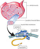 Image result for Dystrophin