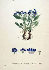 File:Omphalodes verna — Flora Batava — Volume v20.jpg ...